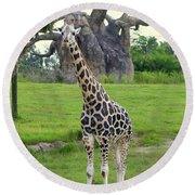 Giraffe With African Baobob Tree Round Beach Towel