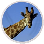 Giraffe With Oxpeckers Round Beach Towel