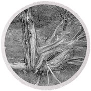 Gnarled Cedar Stump Round Beach Towel