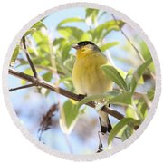 Goldfinch In Spring Tree Round Beach Towel