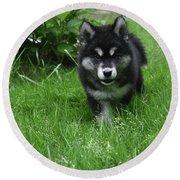 Gorgeous Alusky Puppy Dog Creeping Through Grass Round Beach Towel