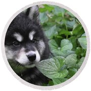 Gorgeous Fluffy Alusky Puppy Peaking Out Of Plants Round Beach Towel