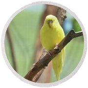 Gorgeous Little Yellow Parakeet Living In The Wild Round Beach Towel