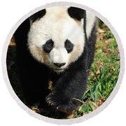 Gorgeous Sweet Giant Panda Bear Ambling Along Round Beach Towel