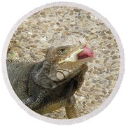 Gray Iguana Eating Lettuce With His Pink Tongue Sticking Out Round Beach Towel