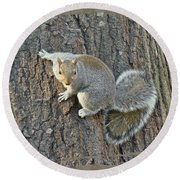 Gray Squirrel - Sciurus Carolinensis Round Beach Towel