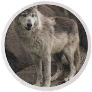 Gray Wolf On A Rock Round Beach Towel