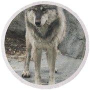 Gray Wolf Stare Round Beach Towel