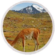 Grazing Guanaco In Patagonia Round Beach Towel