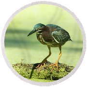 Green Heron In Green Algae Round Beach Towel