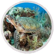 Green Sea Turtle On Caribbean Reef Round Beach Towel