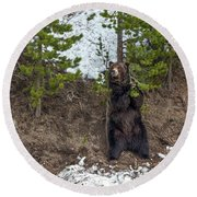 Grizzly Shaking A Tree Round Beach Towel