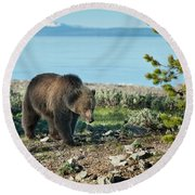 Grizzly Sow At Yellowstone Lake Round Beach Towel