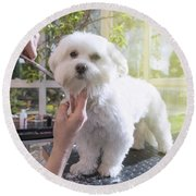 Grooming The Neck Of Adorable White Dog Round Beach Towel