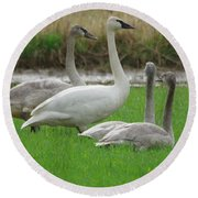 Group Of Young Swans Round Beach Towel