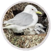 Gull Adult And Chick On Cliff Round Beach Towel