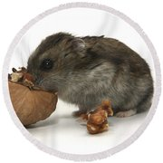 Hamster Eating A Walnut  Round Beach Towel