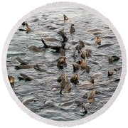 Happy Sea Lions In Santa Cruz Round Beach Towel
