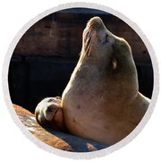 Harbor Seal In The Sun Round Beach Towel