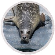 Harbor Seal Ready To Plunge Into The Water Round Beach Towel