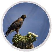 Harris Hawk Atop A Saguaro  Round Beach Towel