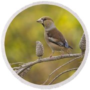 Hawfinch Coccothraustes Coccothraustes Round Beach Towel