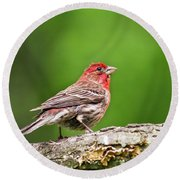 House Finch Perched Round Beach Towel