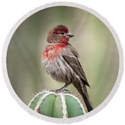 House Finch Perched On Cactus  Round Beach Towel
