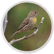 House Finch With Yellow Breast 1  Round Beach Towel