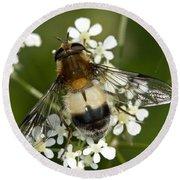 Hoverfly Leucozona Lucorum Round Beach Towel