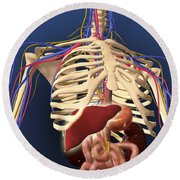 Human Skeleton Showing Digestive System Round Beach Towel