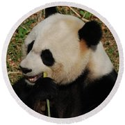 Hungry Chinese Giant Panda Bear Eating Bamboo Round Beach Towel