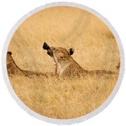Hungry Lions Round Beach Towel