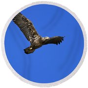 Immature Bald Eagle Fly By Round Beach Towel