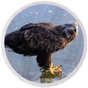 Immature Eagle Having Lunch Round Beach Towel