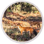 Indian Wild Dogs Dholes Kanha National Park India Round Beach Towel