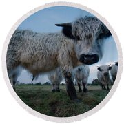 Inquisitive White High Park Cow Round Beach Towel