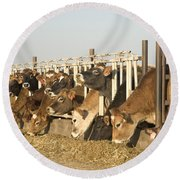 Jersey Cows Feeding Round Beach Towel