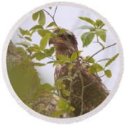 Juvenile Bald Eagle In Leaves Round Beach Towel