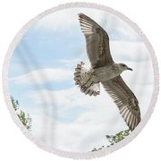 Juvenile Seagull In Flight Round Beach Towel