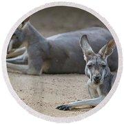 Kangaroo Relaxing On Ground In The Sun Round Beach Towel