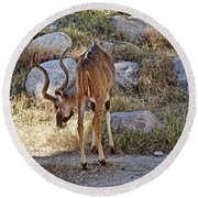 Kudu Near A Waterhole In Living Desert Zoo And Gardens In Palm Desert-california  Round Beach Towel