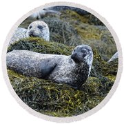 Large Harbor Seal Colony In Scotland Round Beach Towel