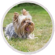 Laughing Yorkshire Terrier Round Beach Towel