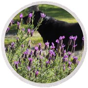 Lavender And Black Lab Round Beach Towel