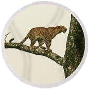 Leopard In A Sal Tree Round Beach Towel