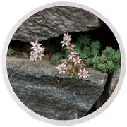 Life On Bare Rock - Pale Pink Succulents On The Wall Round Beach Towel