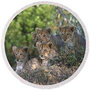Lion Cubs Awaiting Mom Round Beach Towel