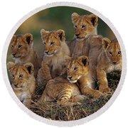 Lion Cubs Round Beach Towel