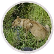 Lion In A Cool Glade Round Beach Towel